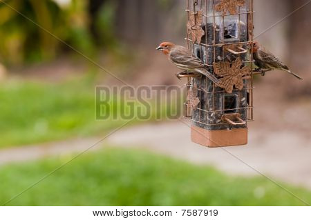 House Finches birds
