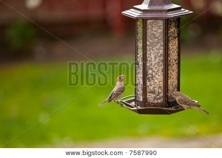 Bird Feeder and House Fich Birds
