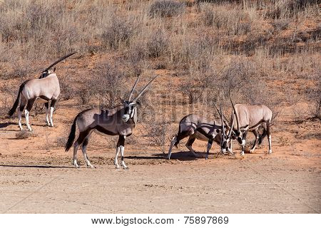 Fight Between Two Male Gemsbok, Oryx Gazella
