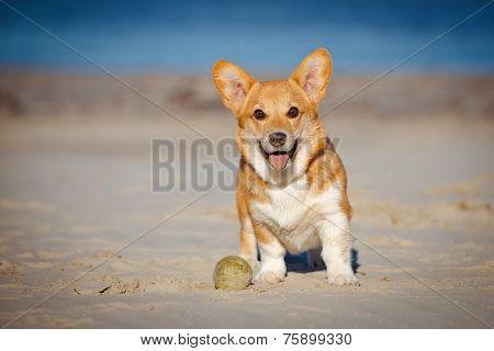 red welsh corgi pembroke dog on the beach