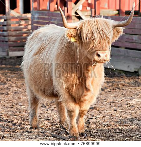 Longhaired Bull Full-length View