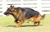 stock photo of alsatian  - A young beautiful black and tan fluffy German Shepherd Dog walking on the grass while looking happy and playful - JPG