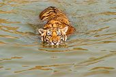 stock photo of tigress  - A tiger is swimming in a river - JPG