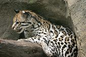 stock photo of ocelot  - An ocelot balanced on a branch - JPG