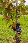 stock photo of merlot  - Ripe of Merlot grapes on the vine ready for harvest - JPG