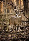 stock photo of bucks  - An eight point white tailed deer buck in the forest of Ohio - JPG
