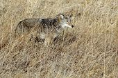 picture of coyote  - A Coyote hiding in tall grass in Eastern Washington - JPG