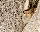 image of chipmunks  - A Chipmunk perched in a tree truck - JPG