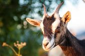 stock photo of billy goat  - the goat in the mountain during the sunset - JPG