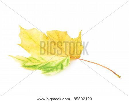 Autumn yellow maple leaf isolated