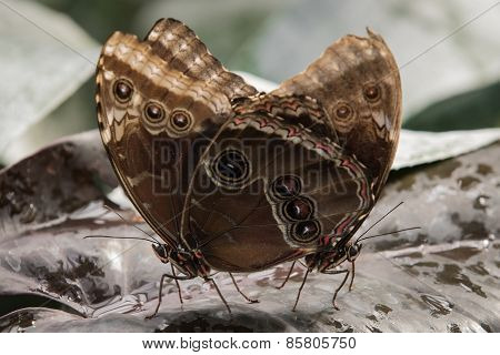 Common Blue Morpho Butterflies Mating
