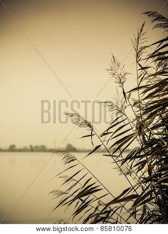 Reeds Against Water At Lake Shore