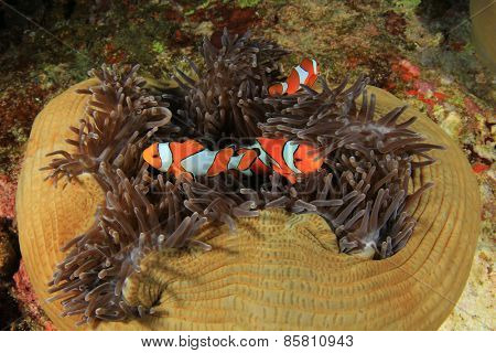 Clownfish and anemones on coral reef