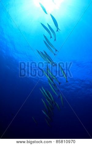 School Yellowtail Barracuda fish