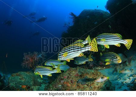 Oriental Sweetlips fish and scuba divers