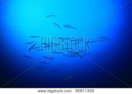 Barracuda fish in blue water