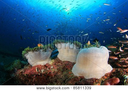 Coral reef with sea anemones and fish