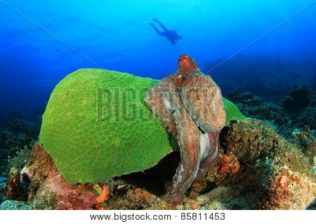 Big Red Reef Octopus and scuba diver