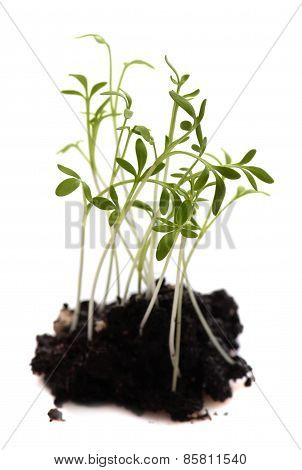 Green young plant isolated white background. macro. Fresh Sprout