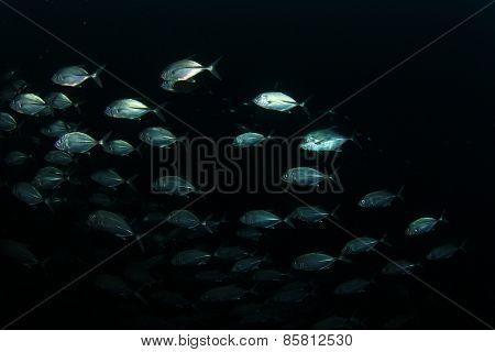 School Bigeye Jack fish