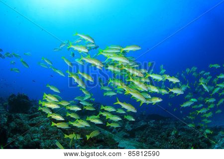 School Yellowfin Goatfish