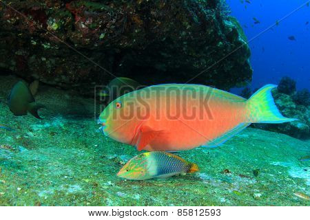 Parrotfish and Wrasse