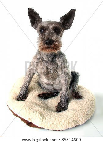Very old schnauzer dog, studio isolated on white.