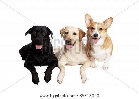friendly Welsh Corgi and Labrador Retriever in front of white Background