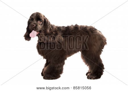 Brown American Cocker Spaniel and in front of white Background