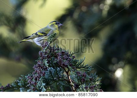 eurasian siskin in Vosges, France