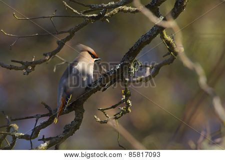 bohemian waxwing perched on a tree during winter in Vosges, Lorraine, France