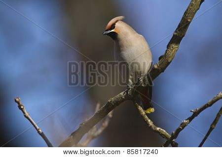 bohemian waxwing perched on a branch, Vosges, France