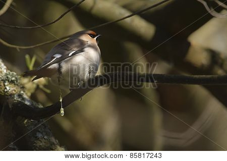 bohemain waxwing dropping on a branch, Vosges, France