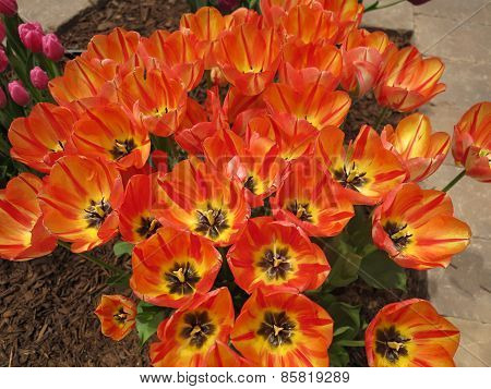 Colorful Tulips showing beautiful color shades