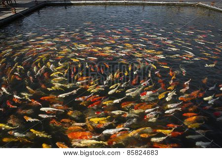 beautiful koi fish swimming in the pond Colorful Koi