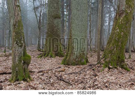 Group Of Very Old Decidous Trees Side By Side In Springtime Deciduous Stand