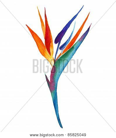 Bird Of  Paradise Tropical Flower.