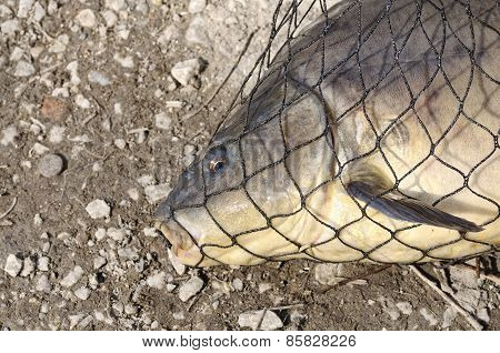 Carp Inside The Net