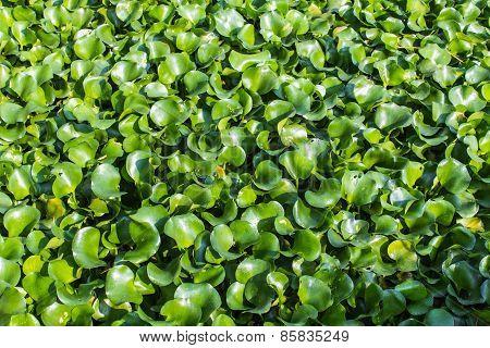 Vibrant Green Water Hyacinth