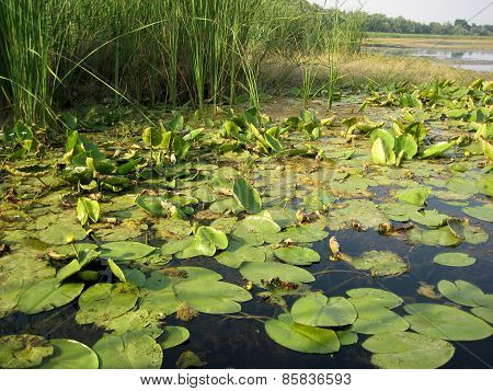 Swamp With Lotus Leaves