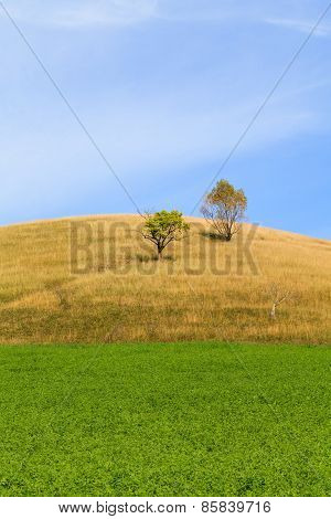 Alfalfa Field