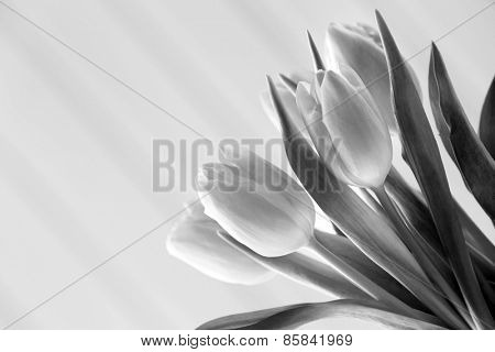 Beautiful tulips in black and white