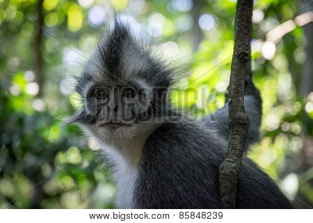 Sumatran Monkey