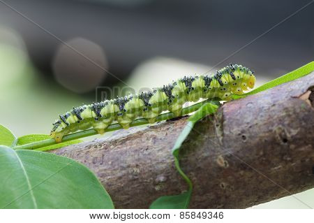 Brazilian Green Caterpillar
