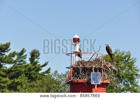 Eagles in the nest, Gananoque