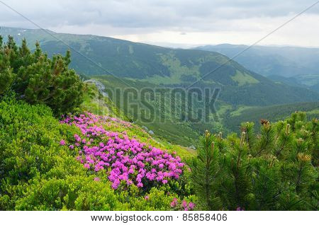Blooming rhododendron bush. Summer landscape in the mountains. Overcast day. Beauty in nature. Carpathians, Ukraine, Europe
