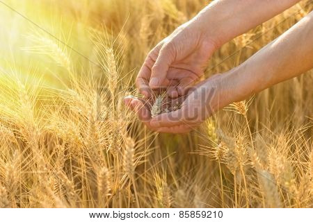 Farmer checks the condition of the crop