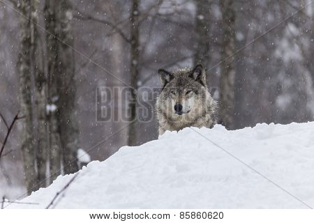 A lone Timber wolf in a winter scene