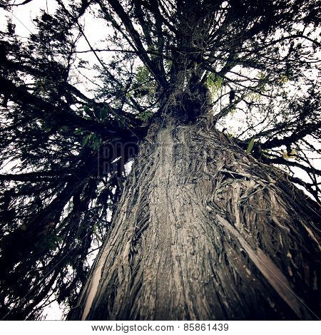 Huge Tree Near Tashiding Monastery, Sikkim, India. Vintage Effect.