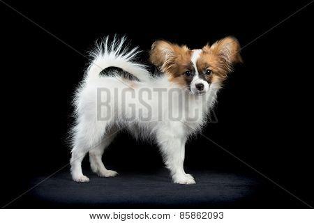 Portrait Papillon Puppy On A Black Background